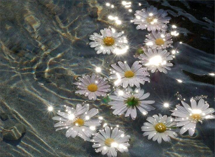 Daisies floating in water Flowers floating in Water