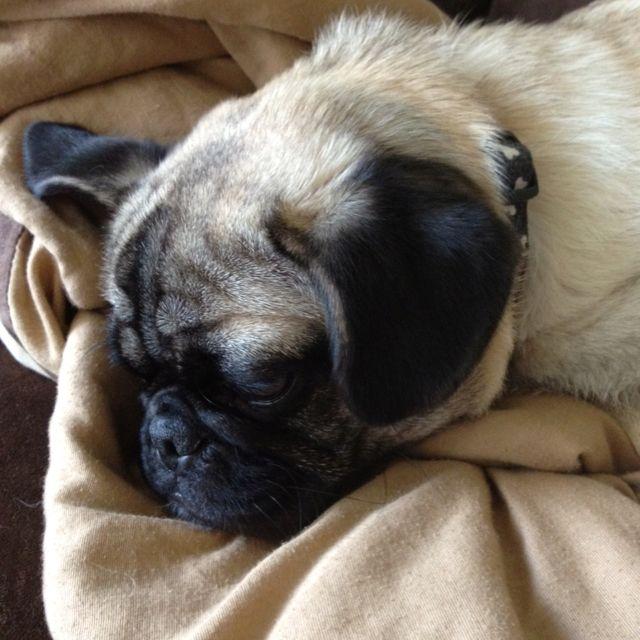 Dexter is a very sleepy pug <3