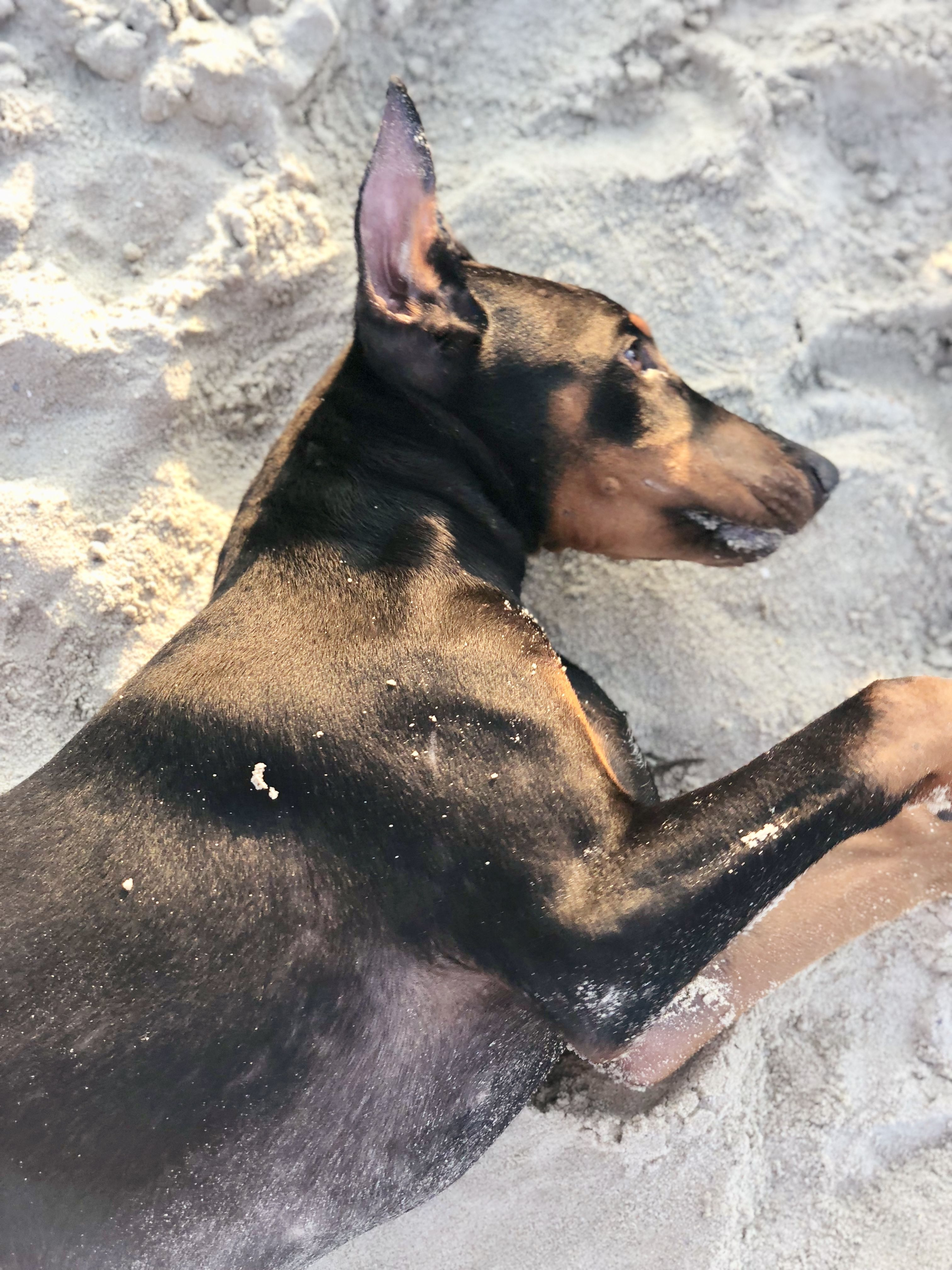 Rogue the dobie 4 months old beach Doberman love