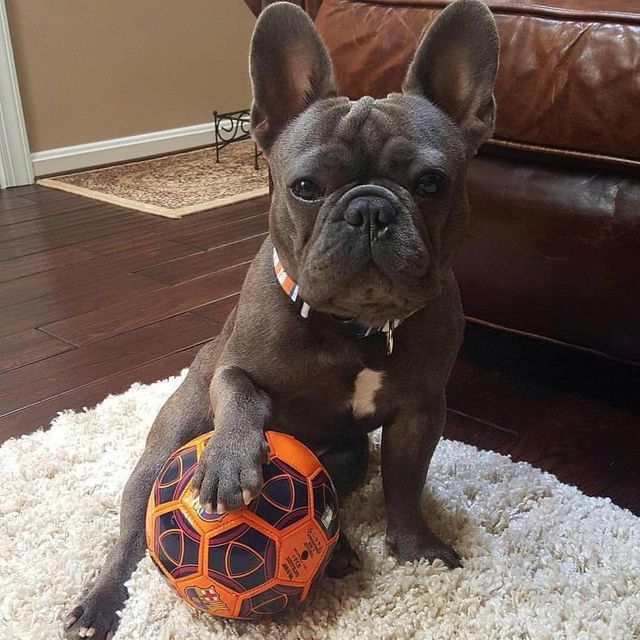 When I M Older I Wanna Play For Liverpool French Dogs French