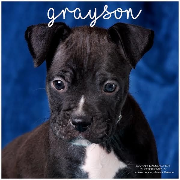 Adopt Grayson On Pet Adoption Pets Boxer