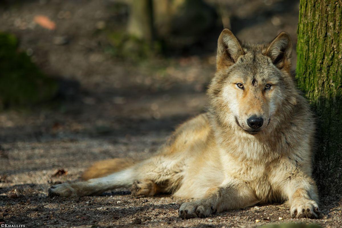 Wolf_Pup10m16-Muenster-Gimli-18.jpg (1200×800)