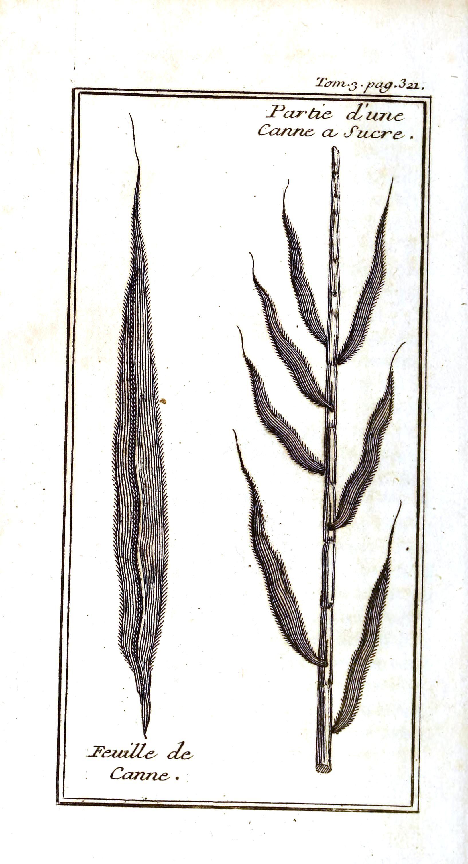 sugarcane botanical illustration - Pesquisa Google