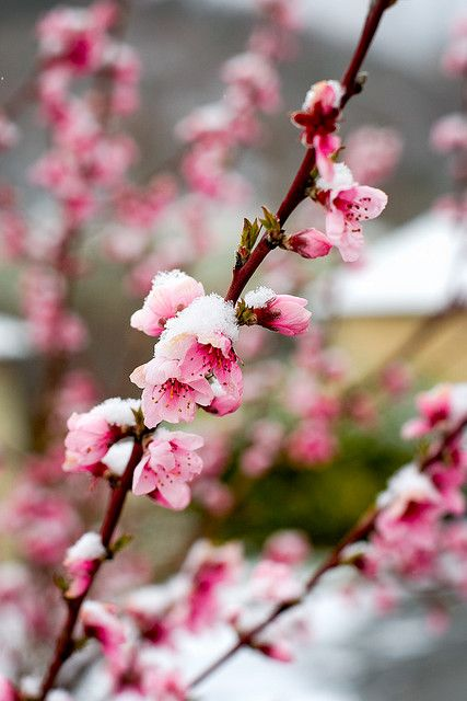 Pink Flowers Winter Flowers Cherry Blossom Background Amazing Flowers