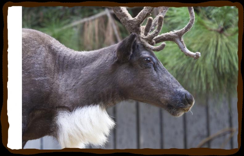 Reindeer | San Diego Zoo - Kids