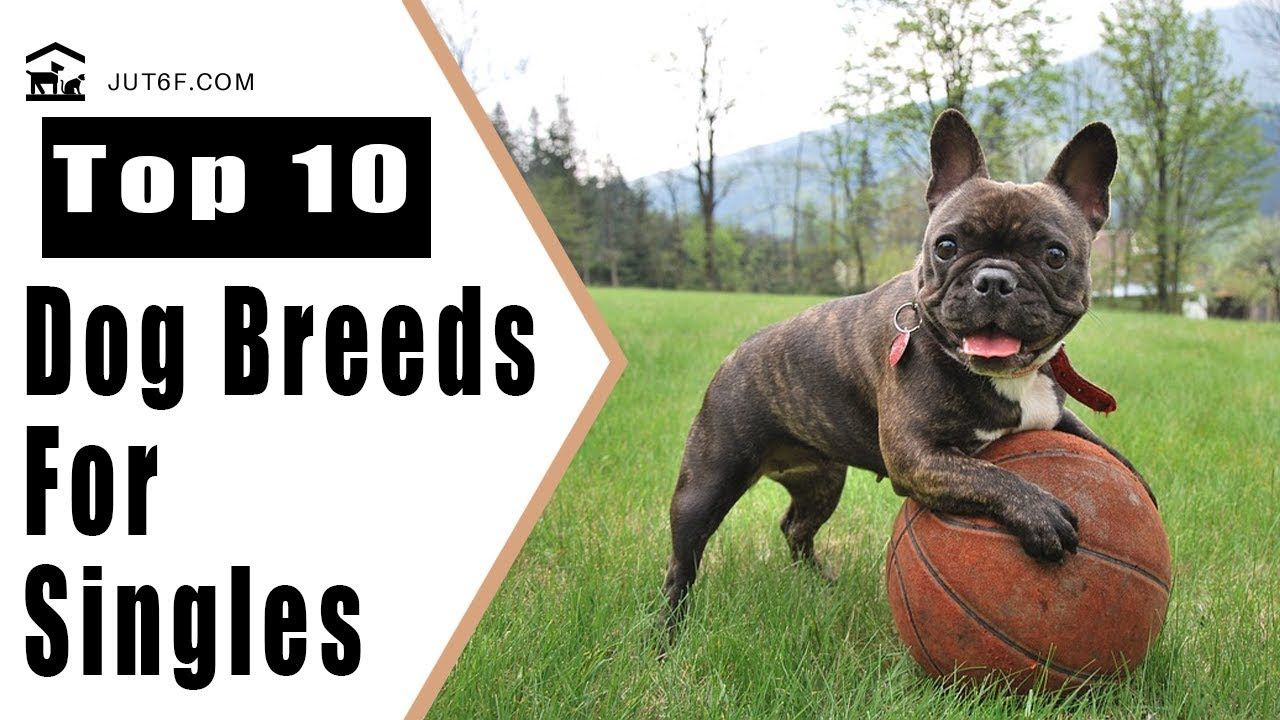 Top 10 Best Dog Breeds For Singles Dogs Top Dog Breeds Dog Breeds