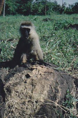 Bwana joen kynästä: Apinatarina Timessä: Koti teki apinaihmisestä ihmi...