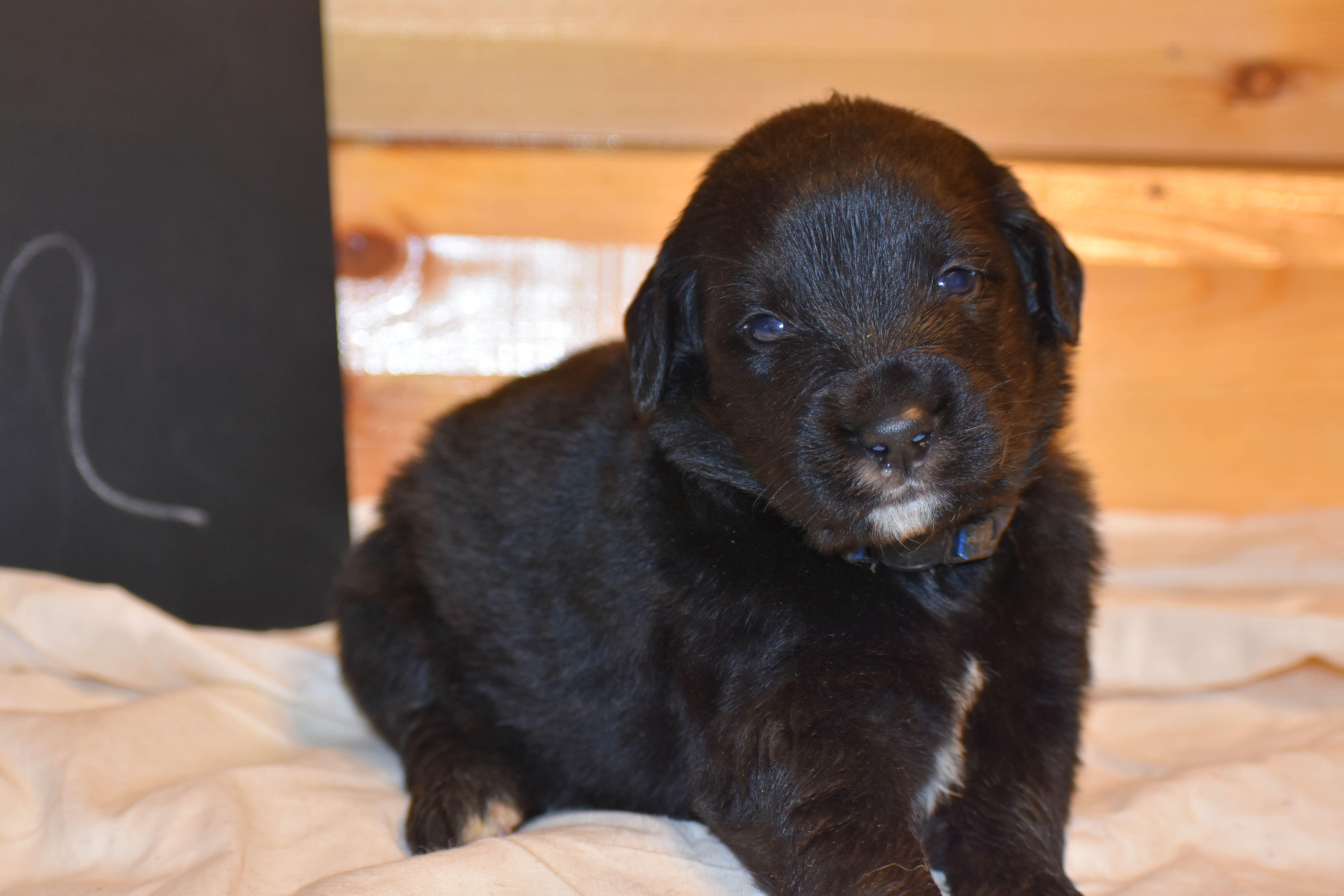 Ron A Dashing Male Golden Mountain Dog Puppy For Sale In