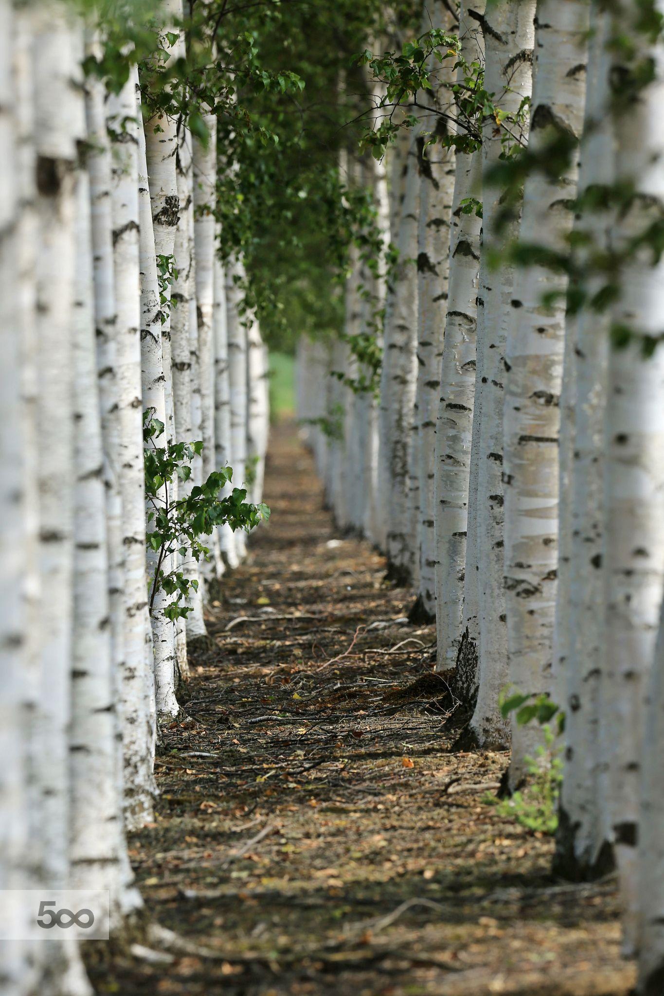 White birch pass by 雅雄 Masao 山本 Yamamoto on 500px