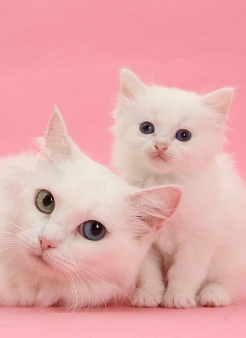 White Cats Cute Animals Cat Cats Adorable Animal Kittens Pets Kitten Pretty Cats Cute Animals Beautiful Cats