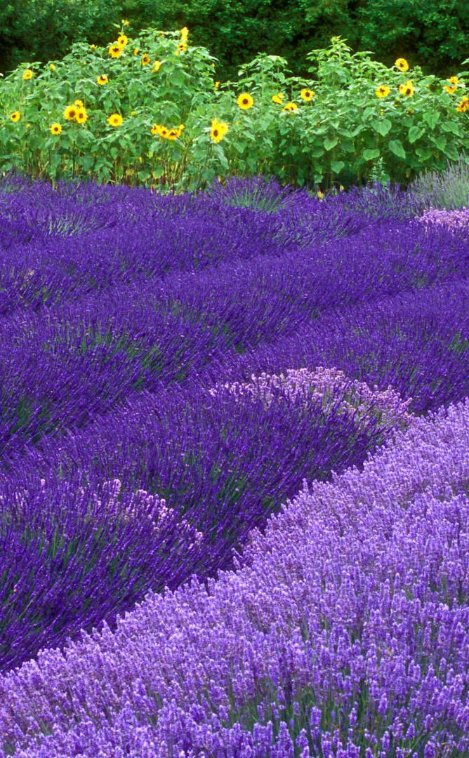 Purple Haze Lavender Farm | Kiss the earth | Sequim washington