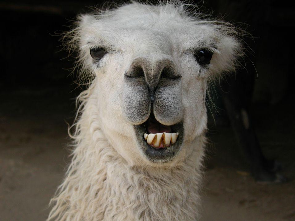 llama wallpapers hd - Buscar con Google