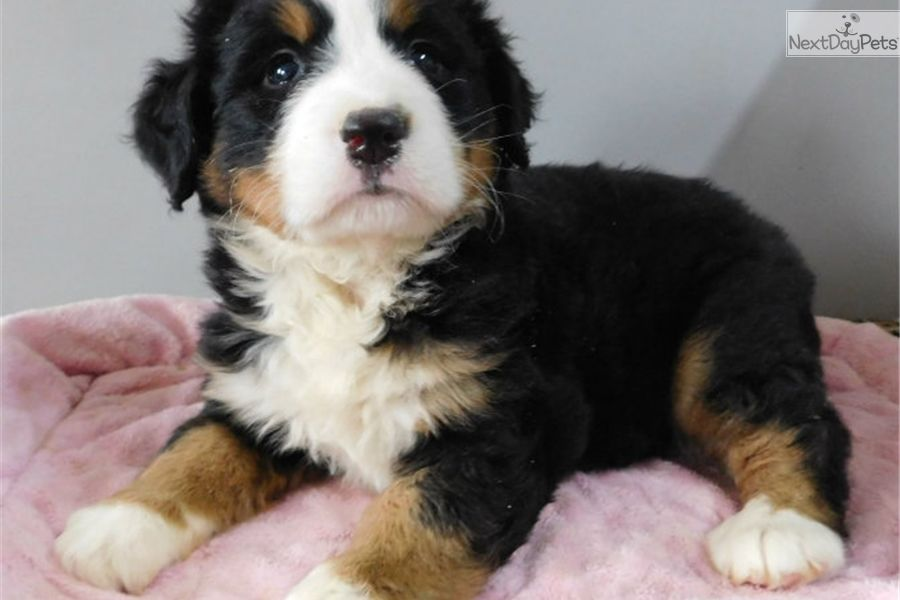 Bernese Mountain Dog Puppy For Sale Near South Bend X2f Michiana Indiana D8ffd2e3 05f1 With Images Bernese Mountain Dog Puppy Bernese Mountain Dog Dogs And Puppies