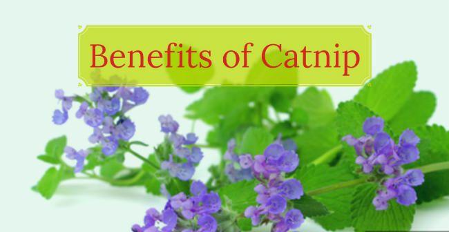 Benefits of Catnip
