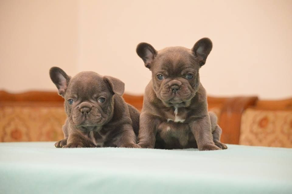 High Quality Purebred Pedigreed French Bulldog Puppies Available
