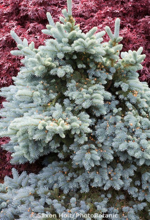 Holt 286 3218 Cr2 Photobotanic Stock Photography Garden Library Garden Shrubs Conifers Picea Pungens