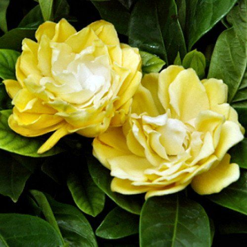 Amazon Com Rare Golden Magic Gardenia Changes Color From Ivory To Yellow To Gold 4 Pot Patio Lawn Garden Gardenia Shrub Gardenia Plant Flower Hedge