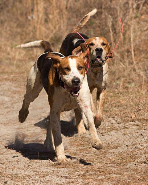Hound Dogs Running Hound Dog Dogs Equine Inspiration