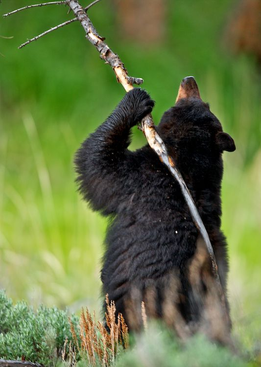 Black bear demonstrating the use of a tool: a branch as backscratcher