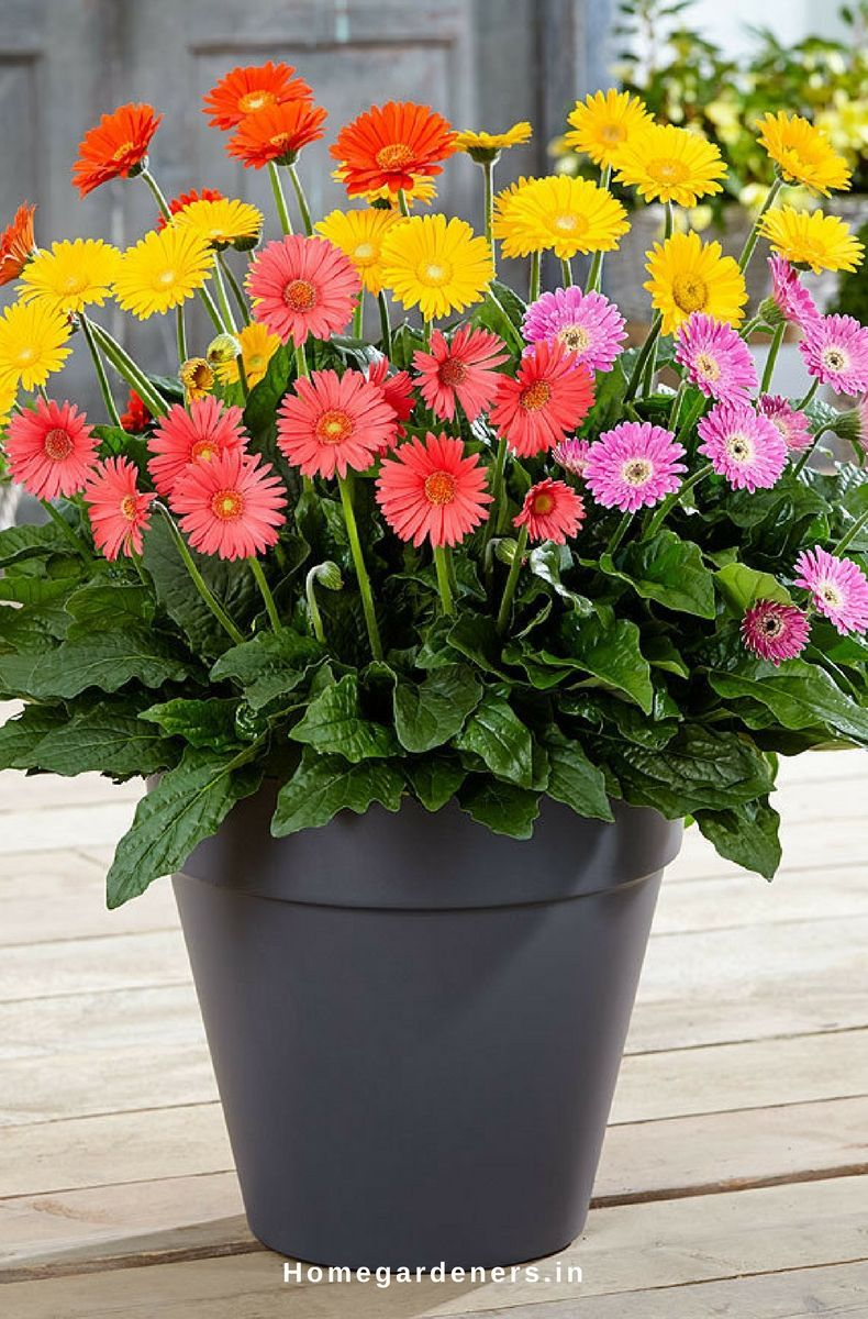 Gerbera Daisies Are Easy To Grow Them At Both Indoors And Outdoors When You Provide Sufficient Resources To The Flowe Gerbera Plant Flower Pots Gerbera Flower
