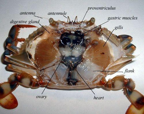 Anatomy of crab