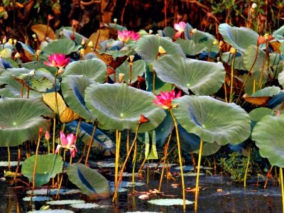 Water Lotus Flower Exotic Lotus Plant Buy Pond Water Plants How