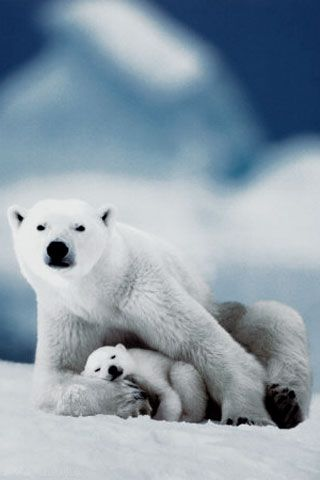 Polar Bear iPhone Wallpaper