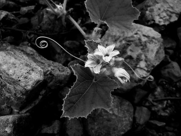 Wild Gourd by Monte Landis | Gourds, Wild, Black and white ...
