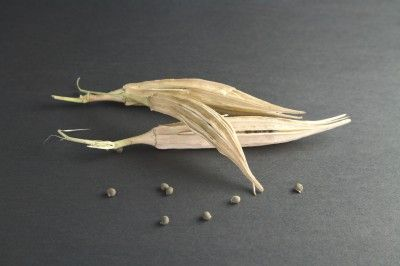 If you grow okra in your garden, collecting okra seeds is a cheap and easy way to get seeds for next year's garden. Read this article to find out how to save okra seeds.