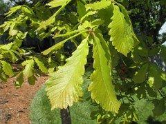 Quercus michauxii - Swamp chestnut oak