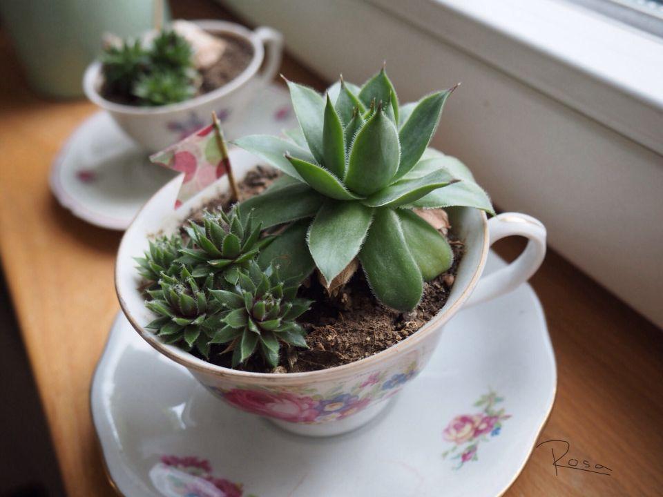 Kakteen in einer alten Tasse, süße Idee!