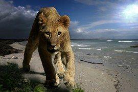 Lion, Nuorten Eläinten, Petoeläin, Kissa