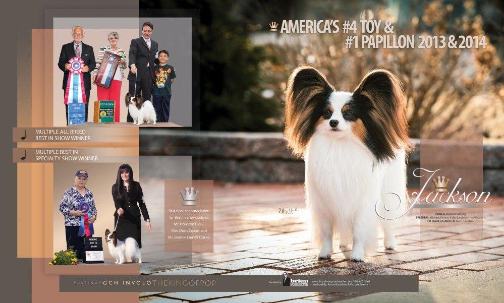 Breeder In Volo Papillons South Jersey Dogs Puppies Pets