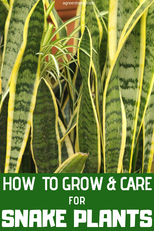 Snake Plant How To Grow And Care For Sansevieria Plants Snake