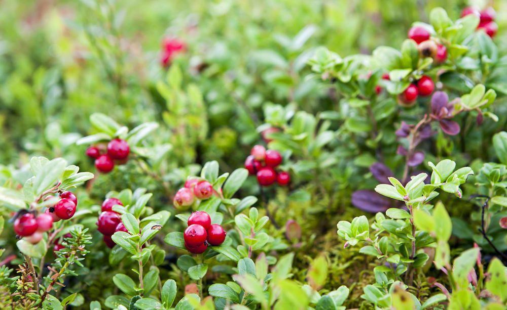 Preiselbeeren Wellness Aus Dem Garten Pflanzen Preiselbeeren Gartenkalender