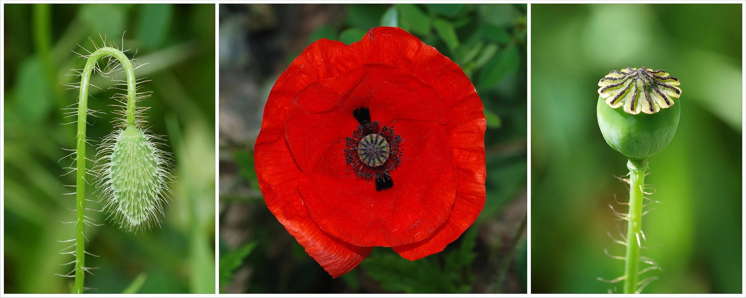The Three Stages In A Common Poppy Flower Bud Flower And Capsule Grow Poppy Flowers Growing Poppies Poppy Flower