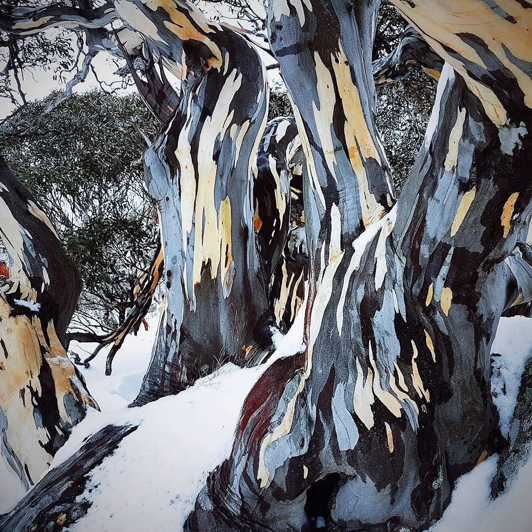 Bark of a Snow Gum tree looks like a painting (With images