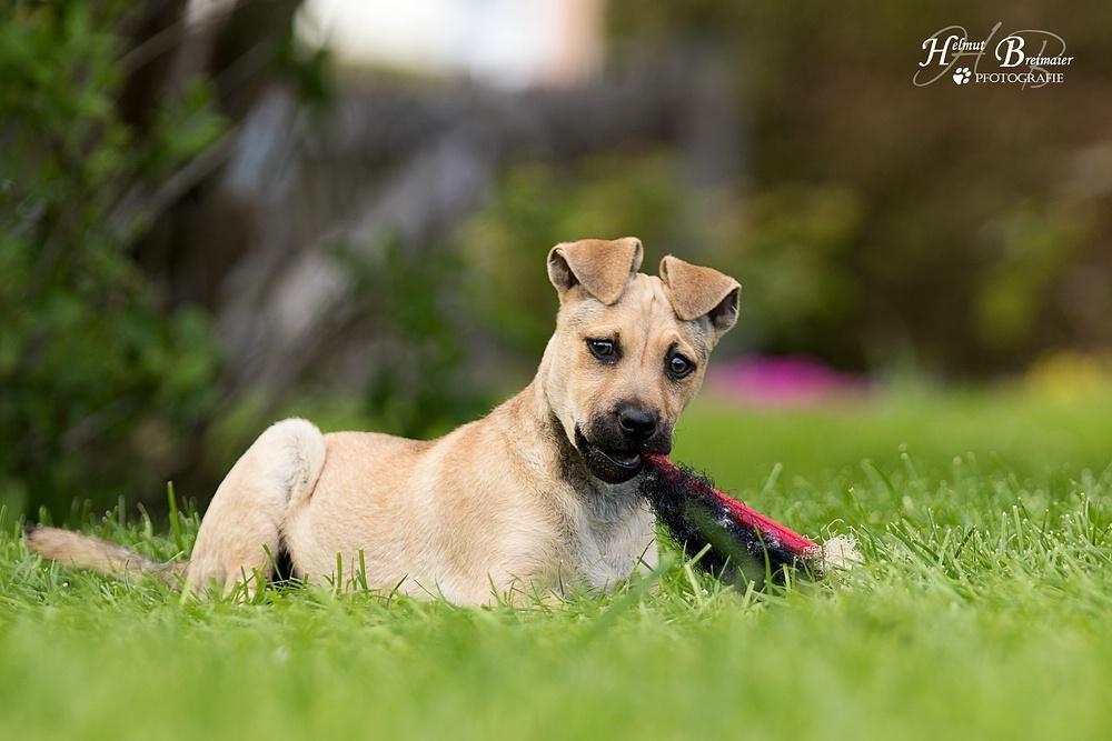 Hund Welpe, Mops Mix (Mischling, Hündin, 4 Monate) in