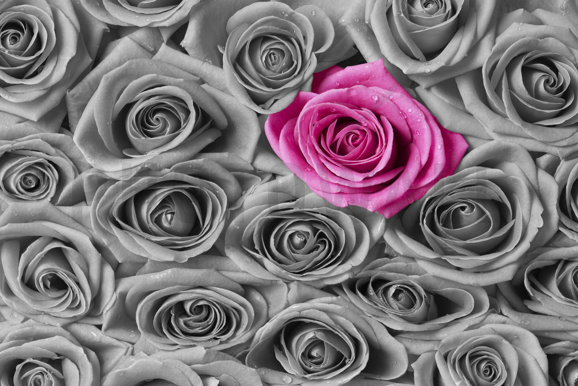 Roses - Pink and Grey - Canvas Print & Canvas Art - Photowall