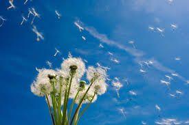 f 来年の春に命繋ぐたんぽぽの綿毛たち タンポポ たんぽぽ 風