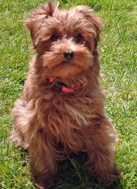 I M A 4 Month Old Yorkie Poo Who In Five Short Weeks Won The