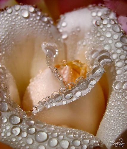 Nevena Uzurov Rose Is Rose Amazing Flowers Beautiful Roses