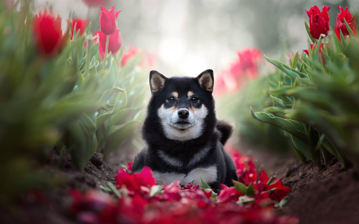 Download Wallpapers Shiba Inu Red Tulips Pets Cute Dog Black Shiba Inu Dogs Shiba Inu Dog Besthqwallpapers Com In 2020 Cute Dogs Shiba Inu Shiba Inu Dog
