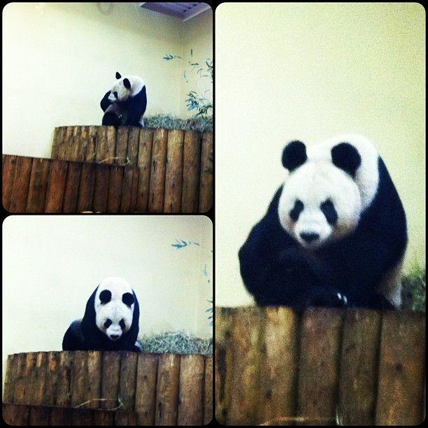 Panda At Edinburgh Zoo Edinburgh Zoo Panda Bear Edinburgh