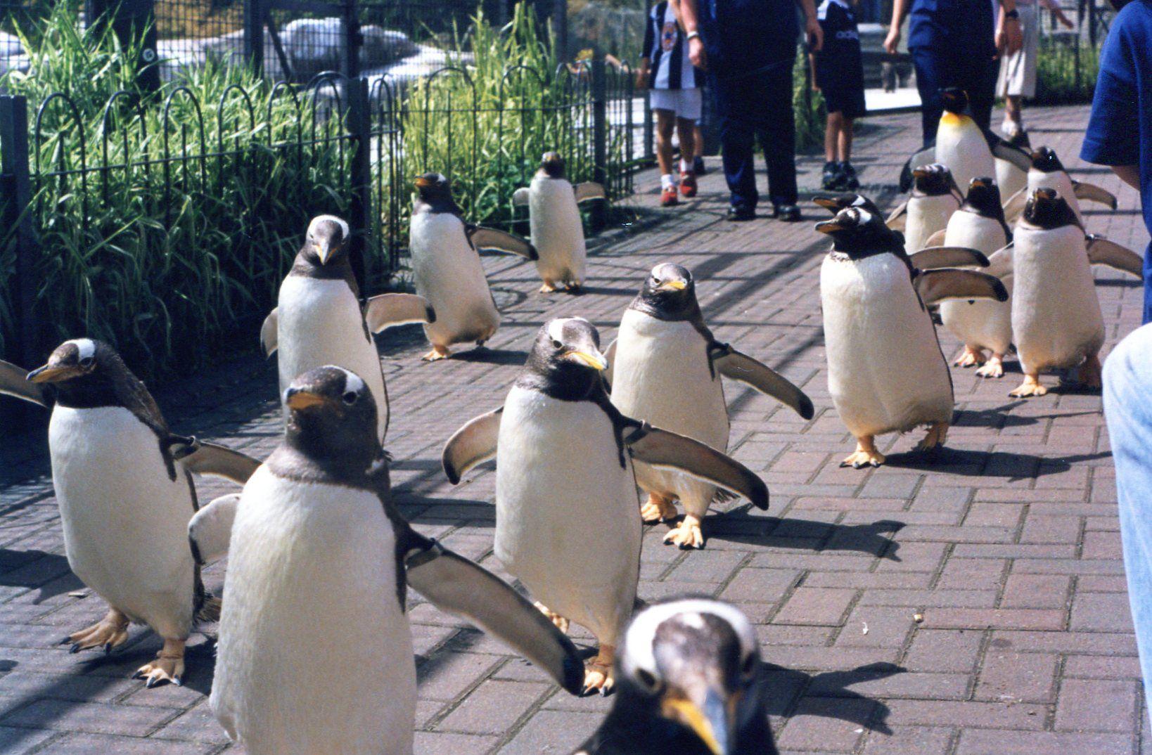 Penguin Parade At Edinburgh Zoo In Scotland Sooooooooo Going There Someday Edinburgh Zoo Days Out With Kids Penguin Parade