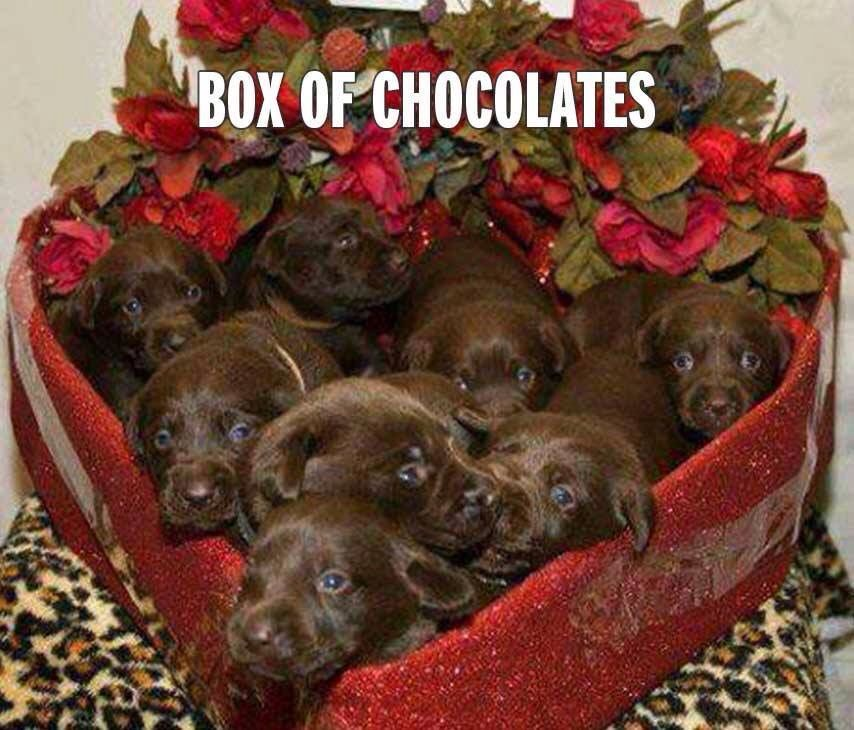 Pin By A Million Little Things On Valentine S Day Chocolate Lab Puppies Cute Puppies Cute Animals