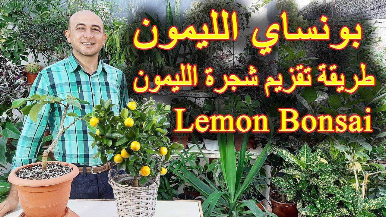 طريقة عمل بونساي الليمون تقزيم شجرة الليمون How To Make Lemon Bonsai Tree Youtube Bonsai Fruit Tree Bonsai Tree Bonsai