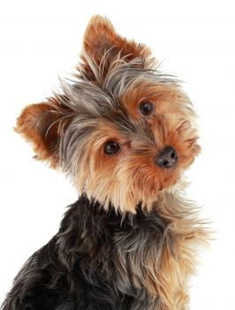 A Yorkie Teeth Care Manual To Keep Their Dental Problems At Bay