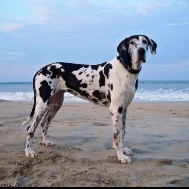 Great Dane Abbey 12 Years Old Great Dane Dogs Dane