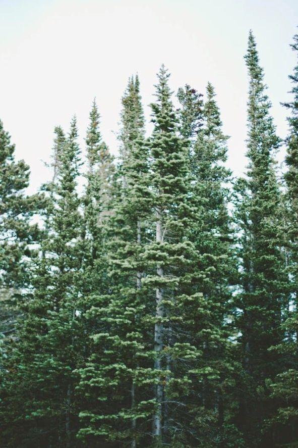 Pine, pine, pining